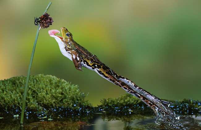 青蛙的捕食过程