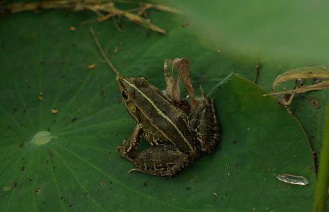 青蛙的生长周期