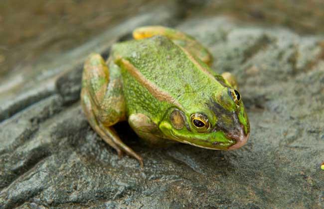 青蛙和蟾蜍的区别
