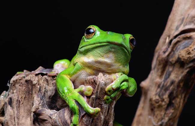 青蛙的舌头构造