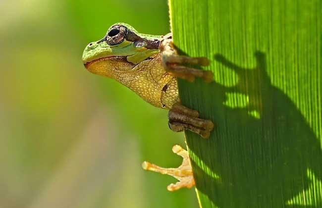 青蛙的繁殖发育 青蛙是雌雄异体,体外受精,精子和卵细胞在水里完成受精,受精卵孵化为蝌蚪,刚孵化的蝌蚪有一条扁而长的尾,用头部的两侧的鳃呼吸,长出内鳃的蝌蚪,外形像一条鱼,长出四肢的幼娃,用肺呼吸,皮肤裸露,辅助呼吸,幼娃逐渐发育成蛙,发育过程为受精卵→蝌蚪→幼蛙→成蛙。