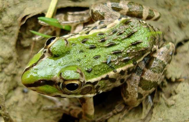 青蛙的常见问题
