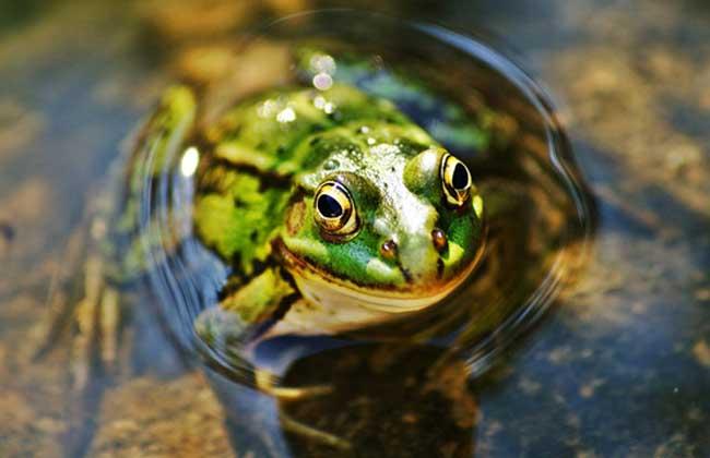 美国青蛙图片