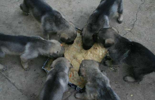 肉狗的饲料配方