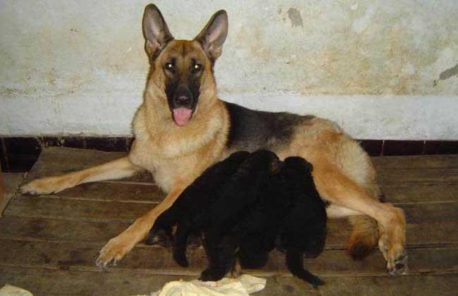 肉狗的养殖优势