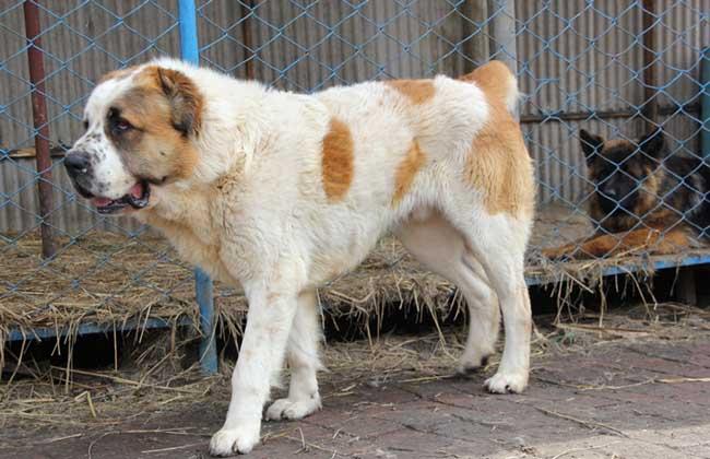 肉狗养殖的常见误区