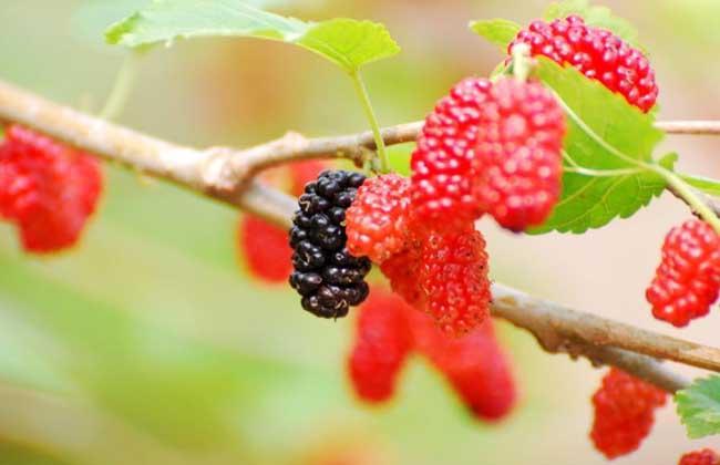 桑葚和树莓的区别