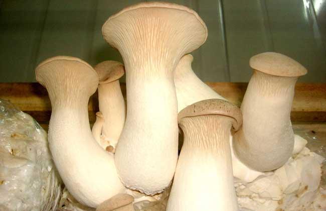 杏鲍菇的产地分布