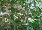 幸福树和发财树的区别