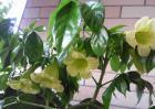 幸福树开花吗?