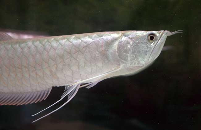 银龙鱼的寿命有多长