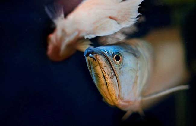 银龙鱼肠炎的症状