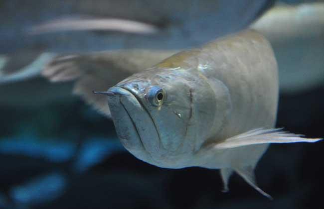 银龙鱼水温多少合适