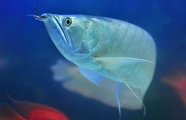 银龙鱼能长多大?