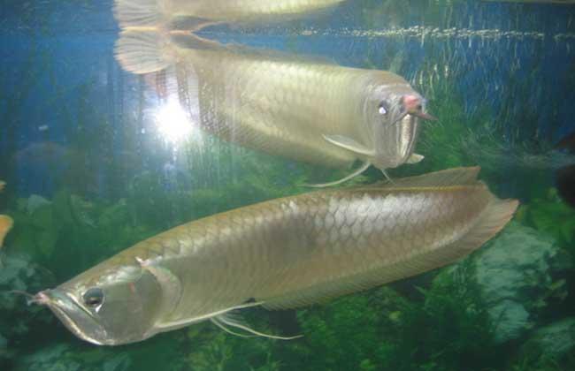 银龙鱼能长多大