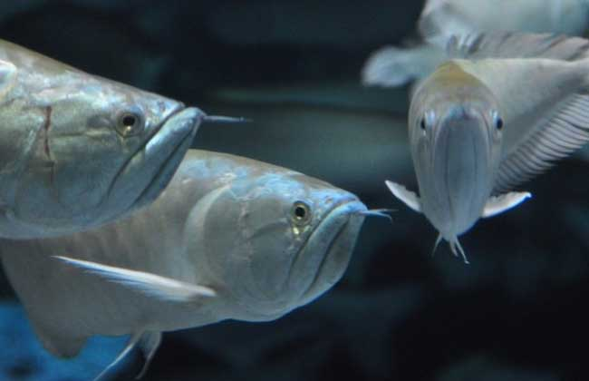 银龙鱼养殖技术视频
