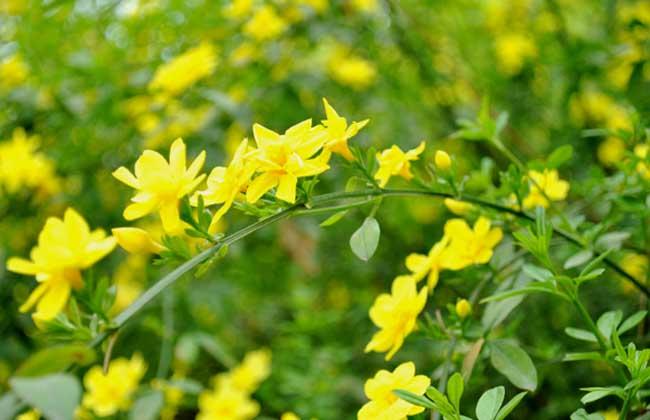 迎春花的繁殖方法