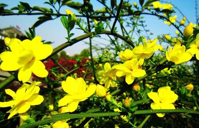 迎春花的常见种类