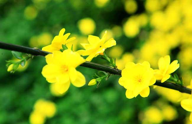 迎春花的养殖方法