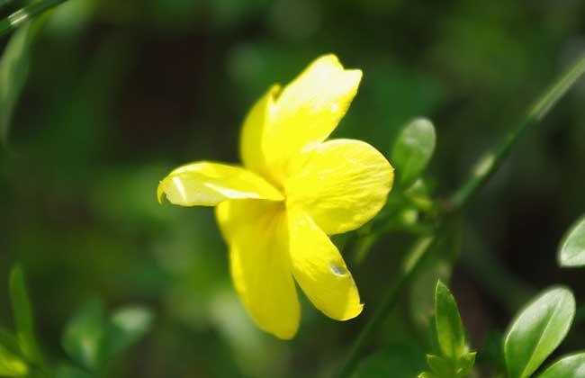 迎春花的花语和传说
