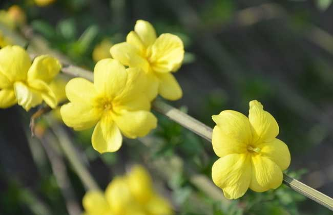 描写迎春花的诗句