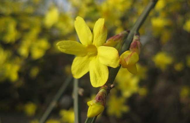 迎春花的生长习性