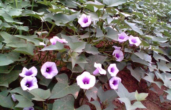 紫薯种植技术视频
