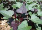 紫薯的种植时间