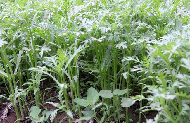 茼蒿的种植条件