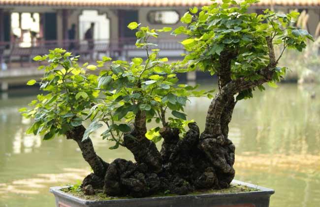 榕树盆景的市场价格