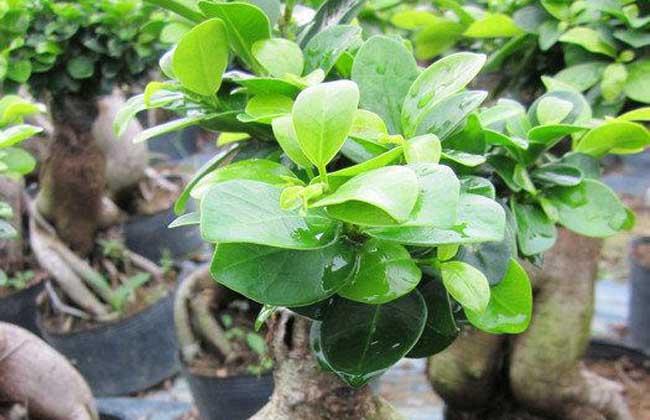 榕树怎么繁殖方法如下图片