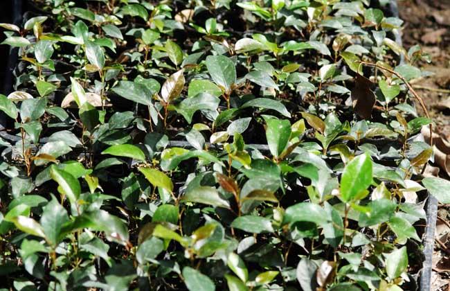 榕树怎么繁殖 - 花百科图片
