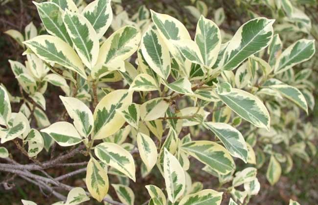 斑叶小叶垂榕图片