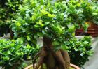 榕树盆景制作方法