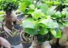 榕树怎么繁殖