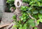 榕树盆景图片