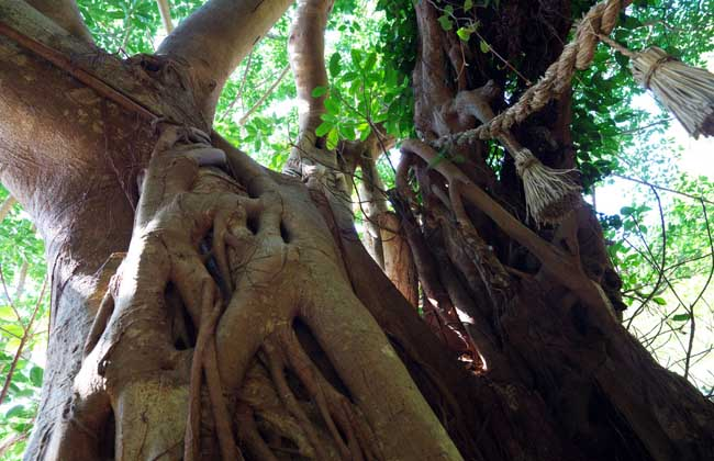 榕树的产地分布