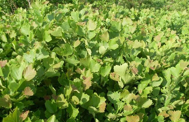 榛子种植技术