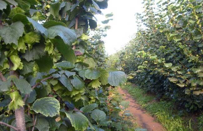 榛子树种植几年结果