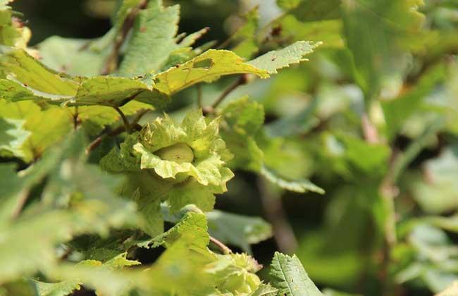 榛子的繁殖方法