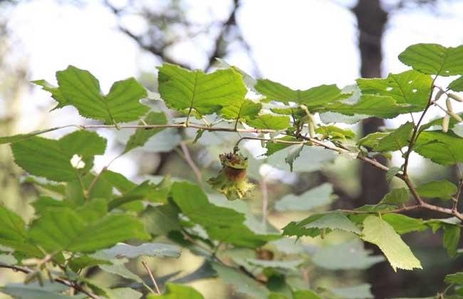 榛子树种植条件