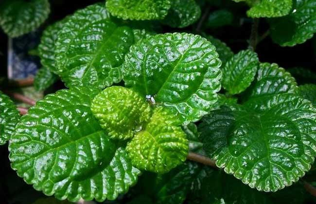 草莓吊兰的养殖方法