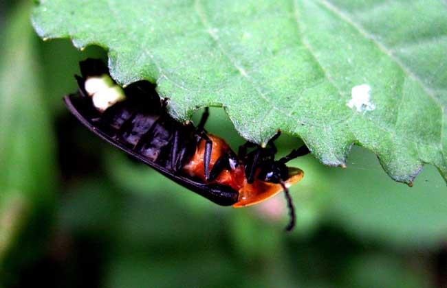 萤火虫的寿命多长