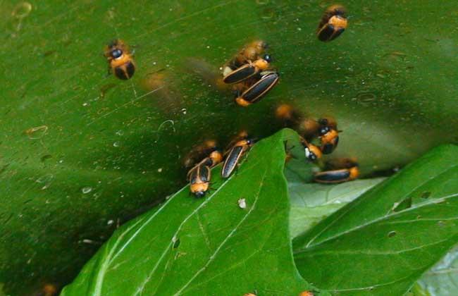 萤火虫种类图片