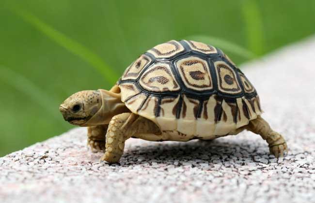 豹龟吃什么食物最好