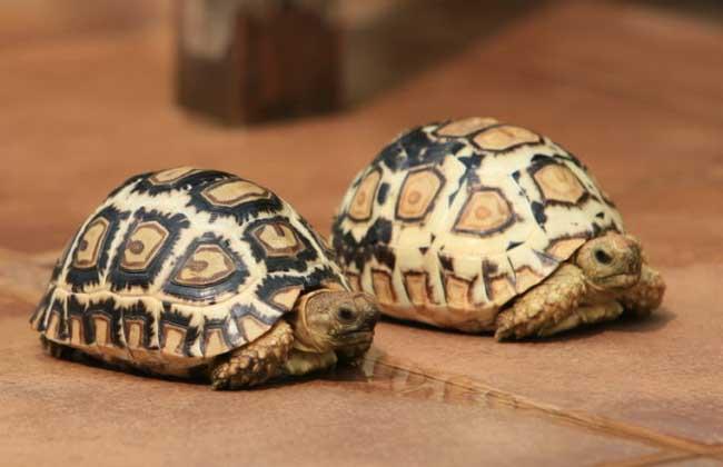 豹龟怎么养才好