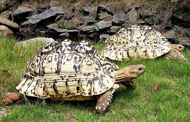 豹龟怎么养