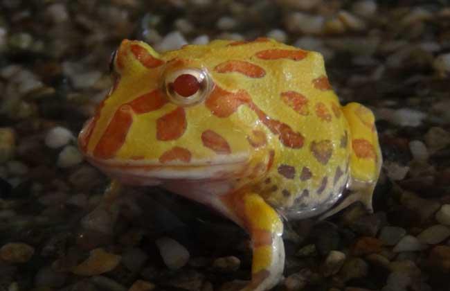 角蛙吃什么食物