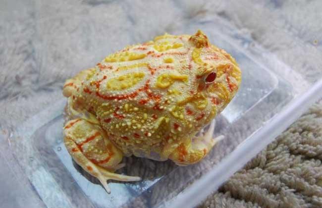 角蛙好养吗?