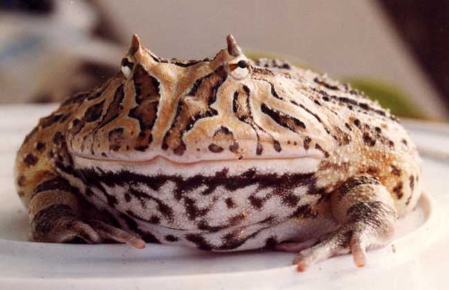 角蛙好养吗